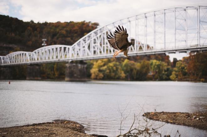 Hawk flying by bridge