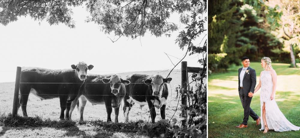 Cows at wedding
